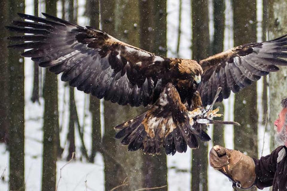 Hätte der Falkner keinen Handschuh, die Landung wäre eine blutige Angelegenheit.