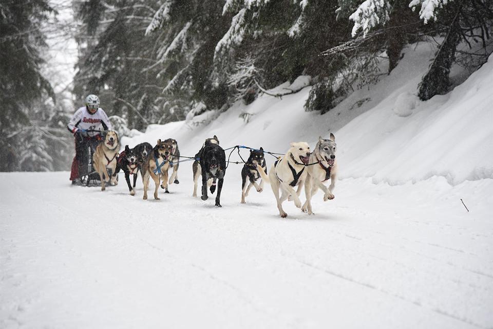 Jeden Winter findet neben verschiedenen Husky-Touren auch das Schlittenhunderennen in Todtmoos statt.