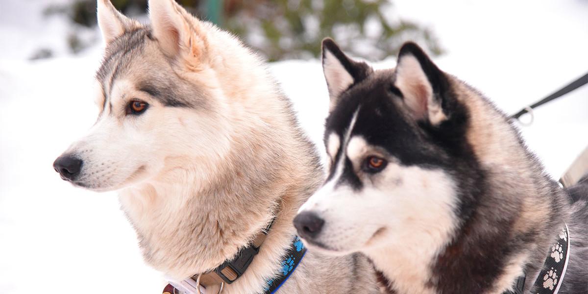 Familie Bähr lebt mit 16 Siberian Huskys zusammen. Es sind tolle Tiere, benötigen aber eine Menge Zeit und Aufmerksamkeit, was jedem künfitgen Halter bewusst sein sollte.