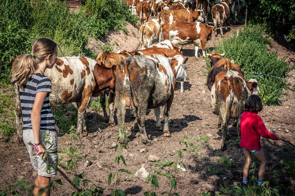 Am besten klappt es, wenn man das zusammen macht, also Kühe zusammentreiben.