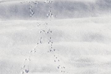 Was Spuren im Schnee über die Tiere verraten