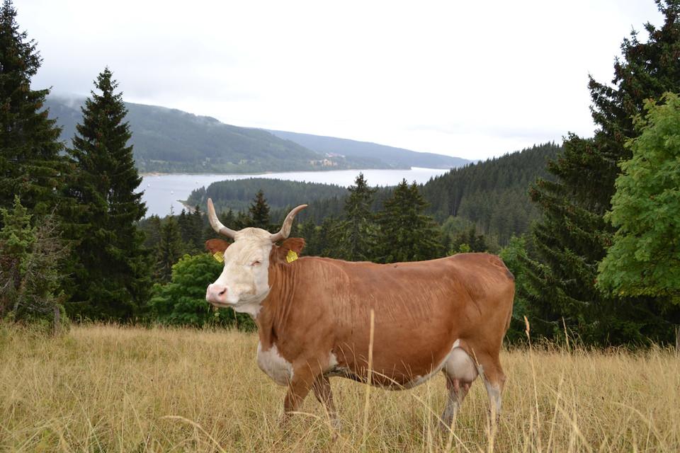"""""""Behutsames Eingreifen des Bauern und der sanfte Tritt, sowie der schonende Biss der robusten, kleinen Hinterwälder Rinder"""" - Tills Erfolgsgeheimnis."""