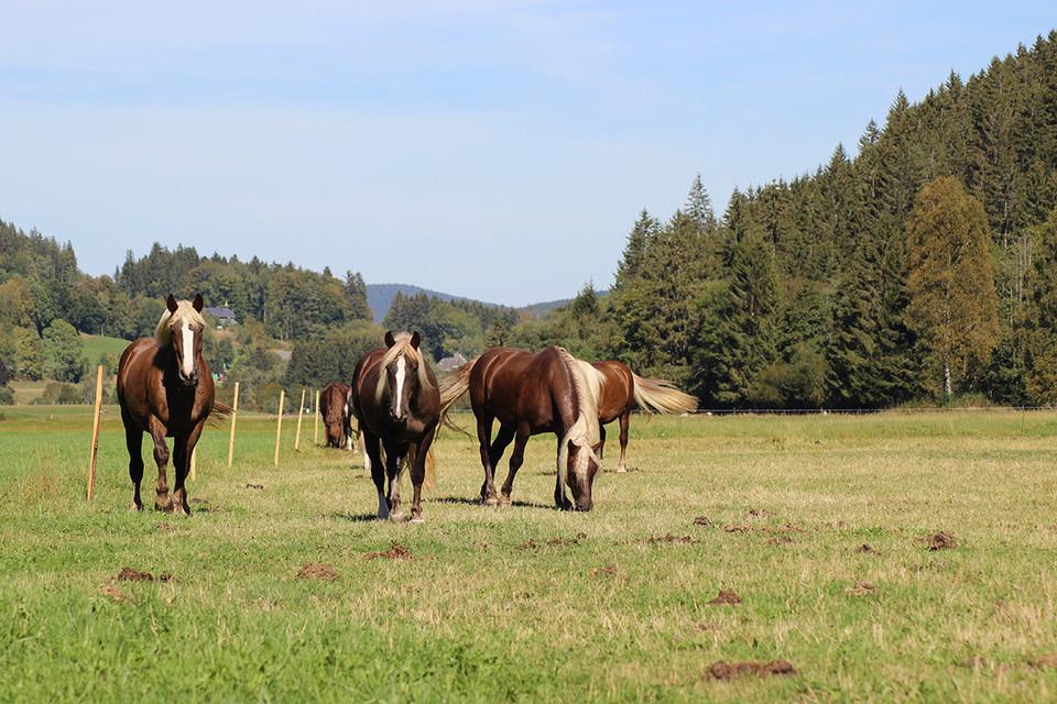 Auf rund einem Drittel des Hoflandes weiden Pferde der Fesers.
