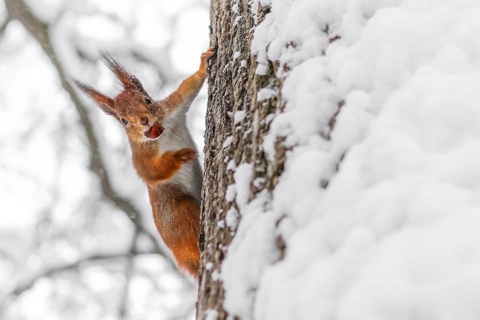 Eichhörnchen legen sich Vorräte an, vergessen aber zuweilen ihre Verstecke.