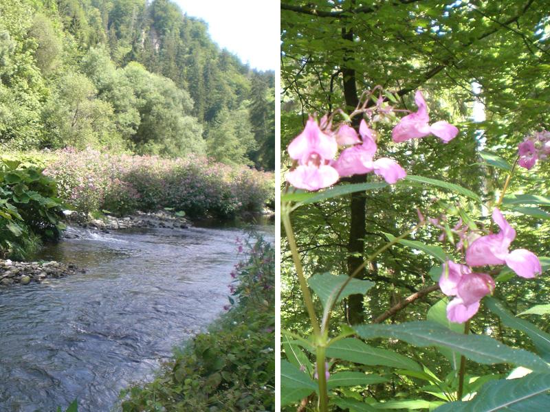 Die kleinen rosa Blumen sehen nicht nur schön aus sondern riechen auch gut.
