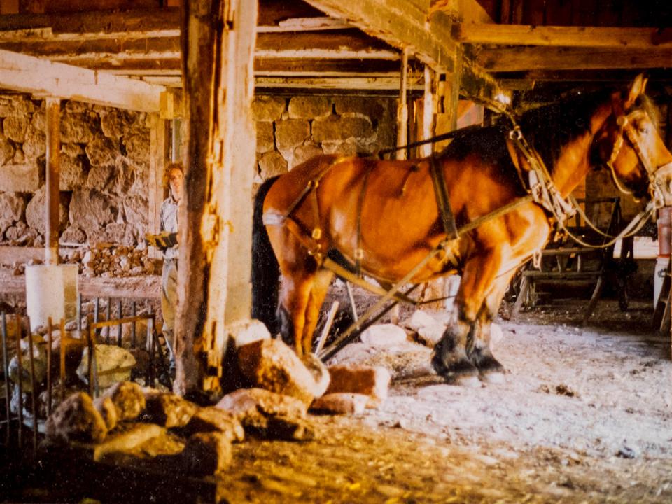 Kaltblutpferd Wassili half beim Abtransport der Steine
