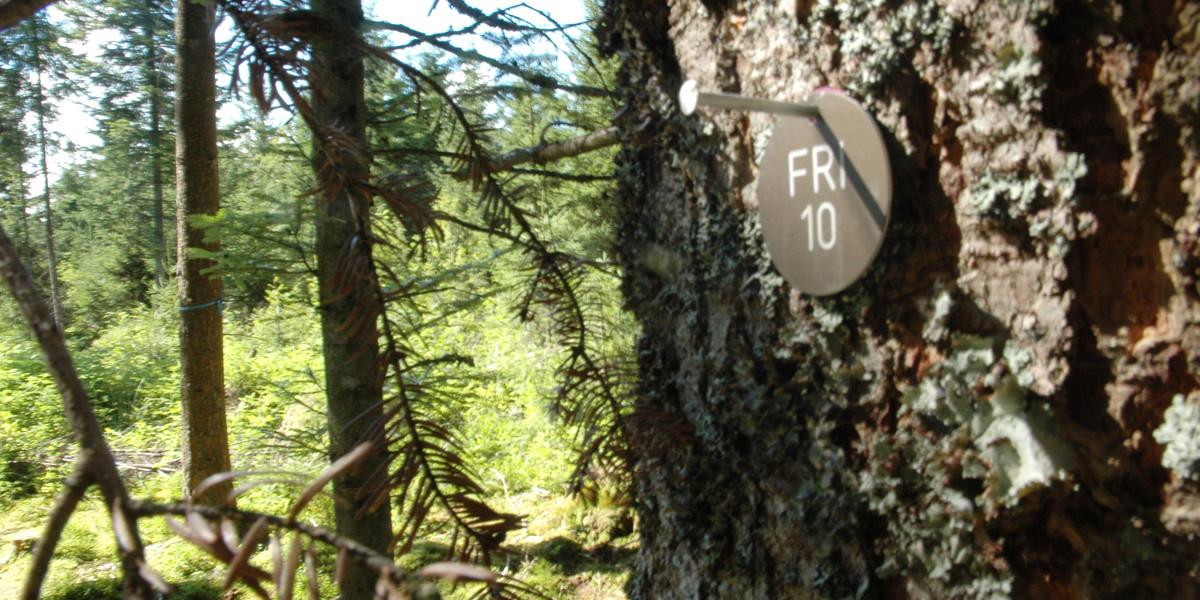 Aus dem Gedanken, am Fuß eines Baumes beerdigt zu werden, ist Wirklichkeit geworden. Friedwald heißt eine namensrechtlich geschützte Version dieser Form der Bestattung.