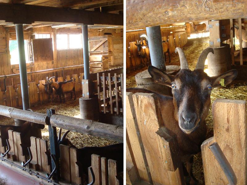 Die Haupteinnahmequelle der Familie Albrecht ist die Ziegenhaltung.