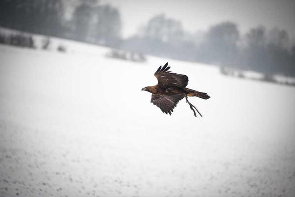 Elegant segelt der Adler in Bodennähe über das Feld.